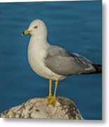 Idaho Sea Gull Metal Print