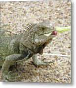 Iguana Eating Lettuce With His Tongue Sticking Out Metal Print