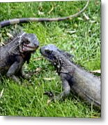 Iguana Kisses St Thomas Metal Print