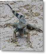 Iguana With A Striped Tail On A Sand Beach Metal Print