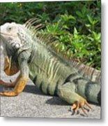 Iguania Sunbathing Metal Print