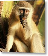 Illuminated Vervet Monkey  Metal Print