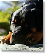 I'm Bored Rottie Metal Print