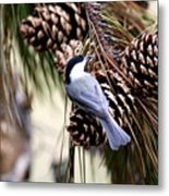 Img_0215-022 - Carolina Chickadee Metal Print
