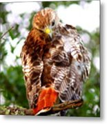Img_1050-002 - Red-tailed Hawk Metal Print