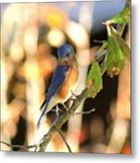 Img_145-005 - Eastern Bluebird Metal Print