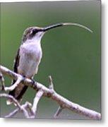 Img_1768-001 - Ruby-throated Hummingbird Metal Print