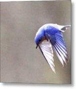Img_4138-003 - Eastern Bluebird Metal Print