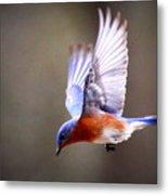 Img_4139-003 - Eastern Bluebird Metal Print