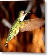 Img_4625 - Ruby-throated Hummingbird Metal Print