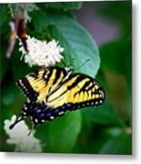 Img_8712-001 - Swallowtail Butterfly Metal Print