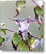 Img_9114-003 - Ruby-throated Hummingbird Metal Print