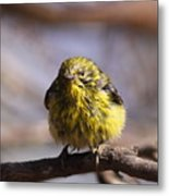 Img_9853 - Pine Warbler -  Very Wet Metal Print