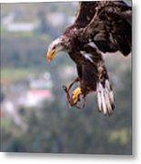 Immature Bald Eagle Landing Metal Print