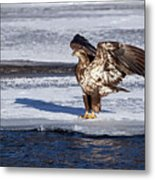 Immature Eagle On Ice Metal Print