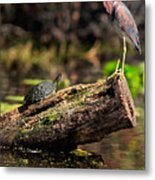 Immature Tri-colored Heron And Peninsula Cooter Turtle Metal Print
