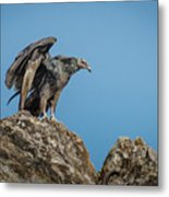Immature Turkey Vulture 3 Metal Print