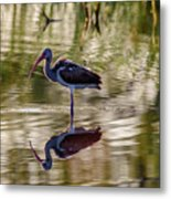 Immature White Ibis At Sunrise Metal Print