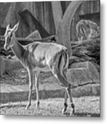 Impala    Black And White Metal Print