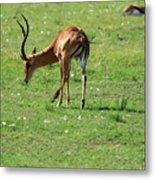 Impala Buck Metal Print