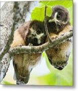 Impossibly Cute Owl Fledglings Metal Print
