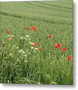 in Flanders Fields the  poppies blow Metal Print