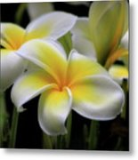 In Love With Butterflies Plumeria Flower Cecil B Day Butterfly Center Art Metal Print