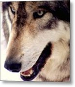 In The Eyes Of The Wolves Metal Print