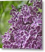In The Garden. Lilac Metal Print