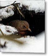 In The Shelder. Eurasian Blackbird Metal Print
