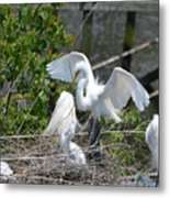 In The Wild White Snowy Egrets Photography ....photo A Metal Print