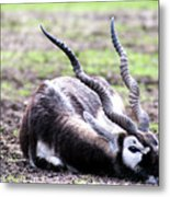 Indian Antelope Metal Print