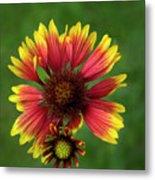 Indian Blanket Flower - Gaillardia Metal Print