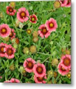 Indian Blanket Flowers Metal Print
