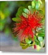 Indian Bottlebrush Flower Metal Print