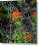 Indian Paint Brush 2 Metal Print