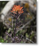 Indian Paintbrush 7 Metal Print