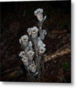 Indian Pipe Metal Print