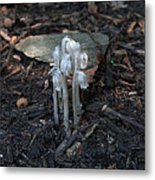 Indian Pipes Metal Print