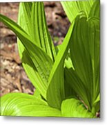 Indian Poke -veratrum Veride- Metal Print