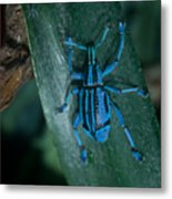 Indigo Blue Weevil Metal Print