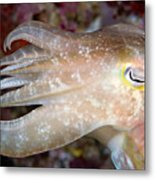 Indonesia, Cuttlefish Metal Print
