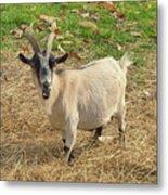 Inquisitive Goat Metal Print
