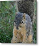 Inquisitive Squirrel Metal Print