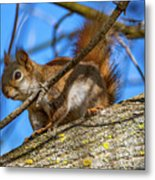 Inquisitive Squirrel Metal Print