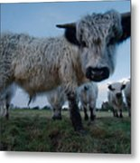 Inquisitive White High Park Cow Metal Print