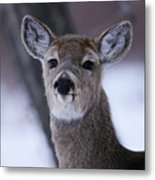 Inquisitive Yearling Metal Print