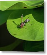 Insect On Lotus Leaf Metal Print