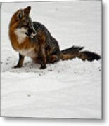Intent Red Fox Metal Print