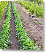 Intercropped Trees And Beans Metal Print